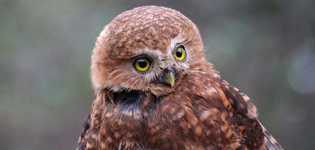 Andean Pygmy Owl