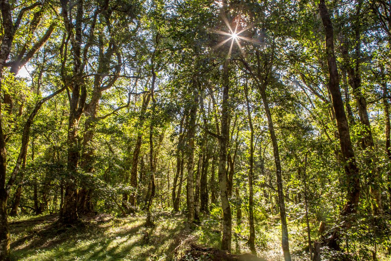 Ankaratra forest