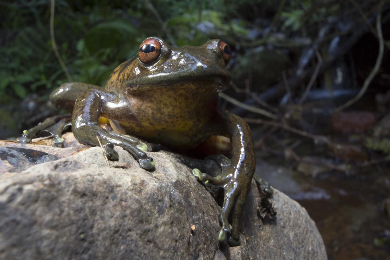 Boophis goudotiii frog
