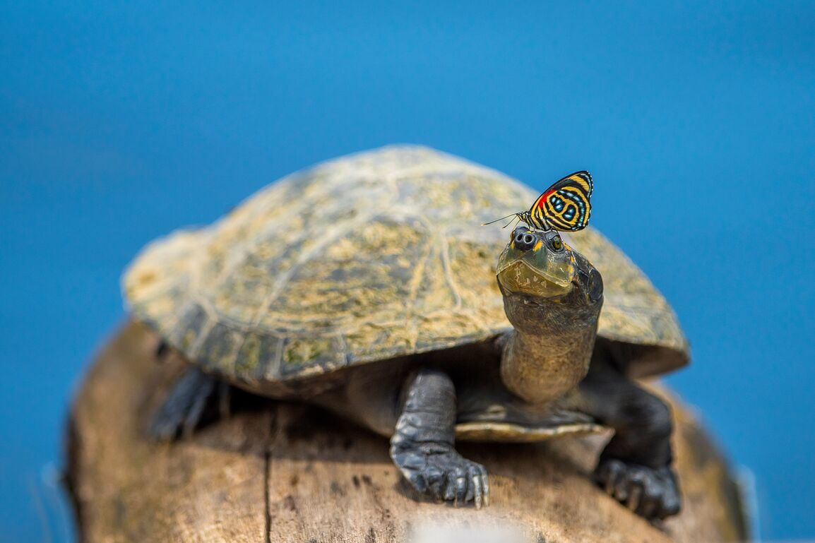Turtle with butterfly