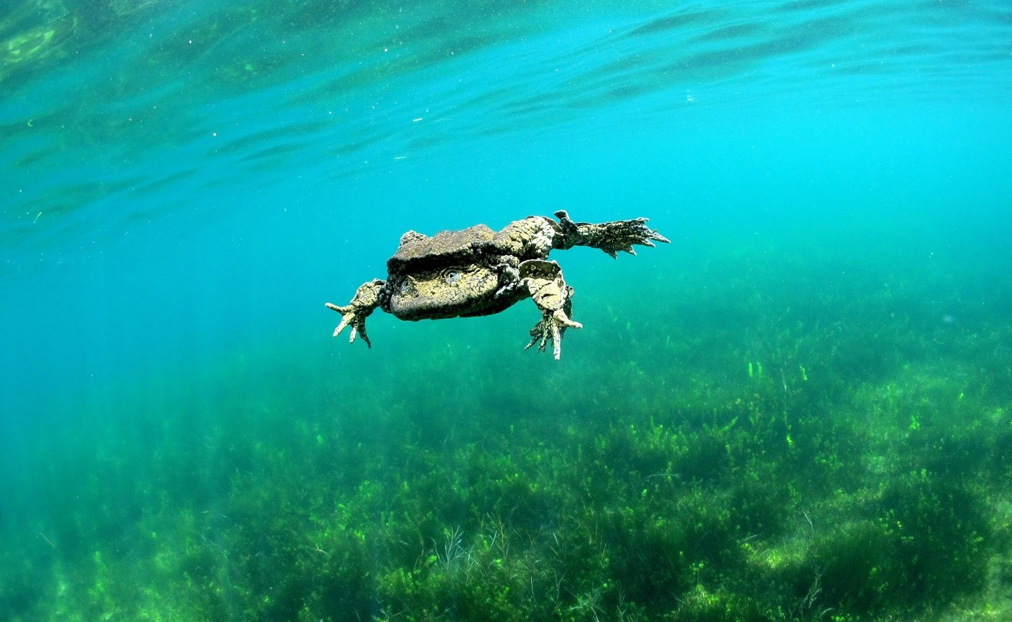 The Titicaca Water Frog