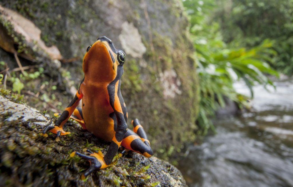 Variable-Harlequin-Frog