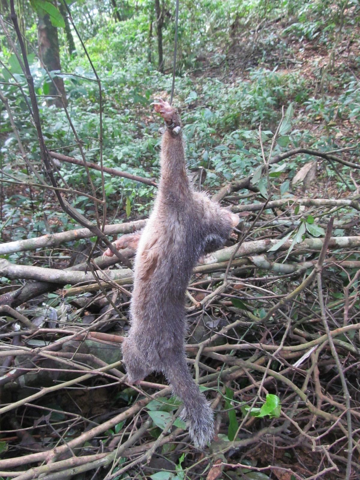 Ferret Badger caught in snare.