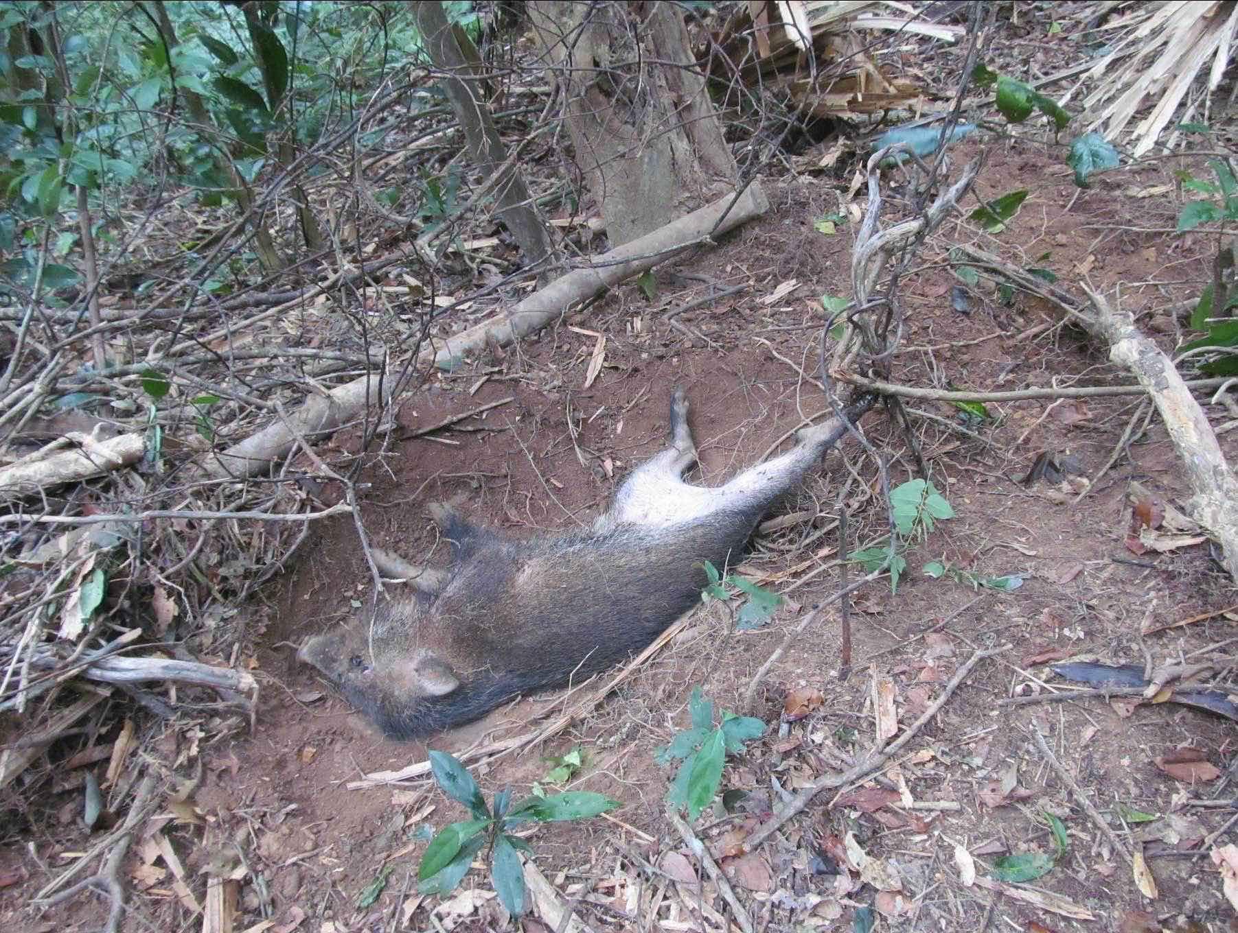 Wild Boar caught in a snare