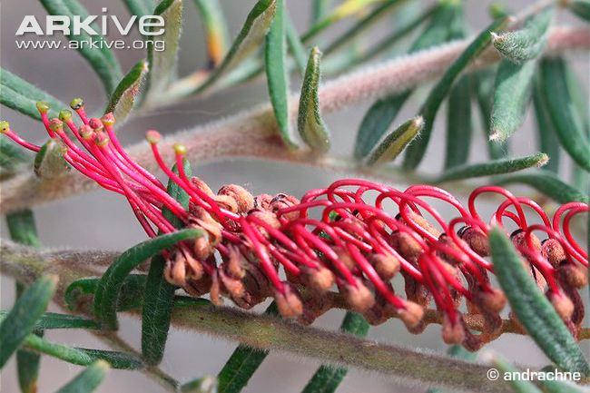 Caleys grevillea flowers