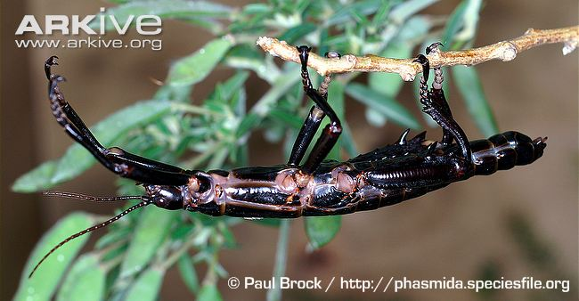 Male Lord Howe Island stick insect