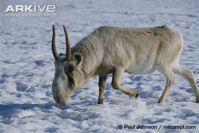 Male saiga antelope
