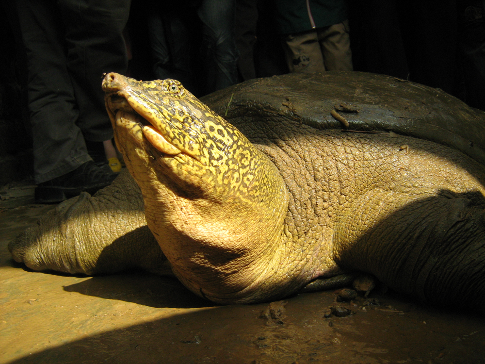 Giant softshell turtle