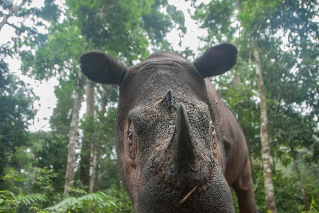 Sumatran Rhino approaching the camera