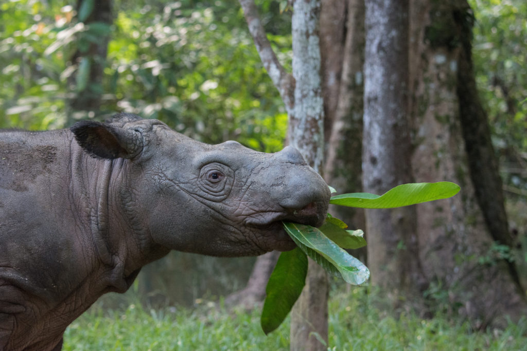 Sumatran Rhino eating leaves