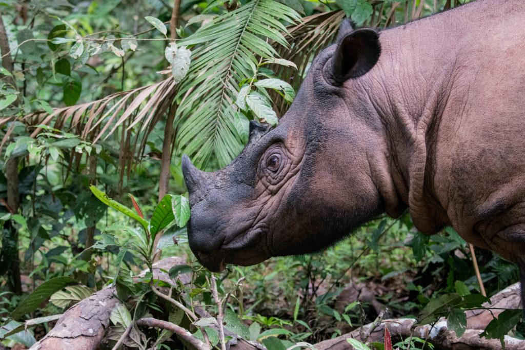Sumatran Rhino enjoying a stroll