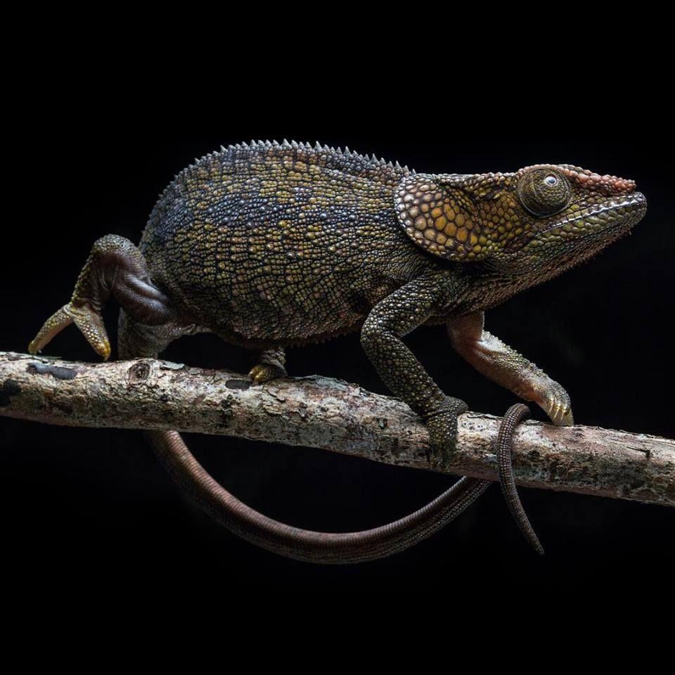 Short-horned Chameleon in Madagascar. (Photo by Robin Moore)