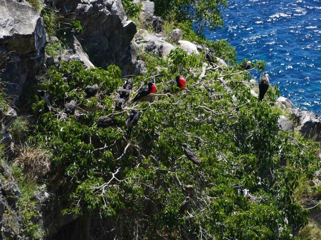 Nesting frigate birds. (Photo by Mike Appleton, Global Wildlife Conservation)