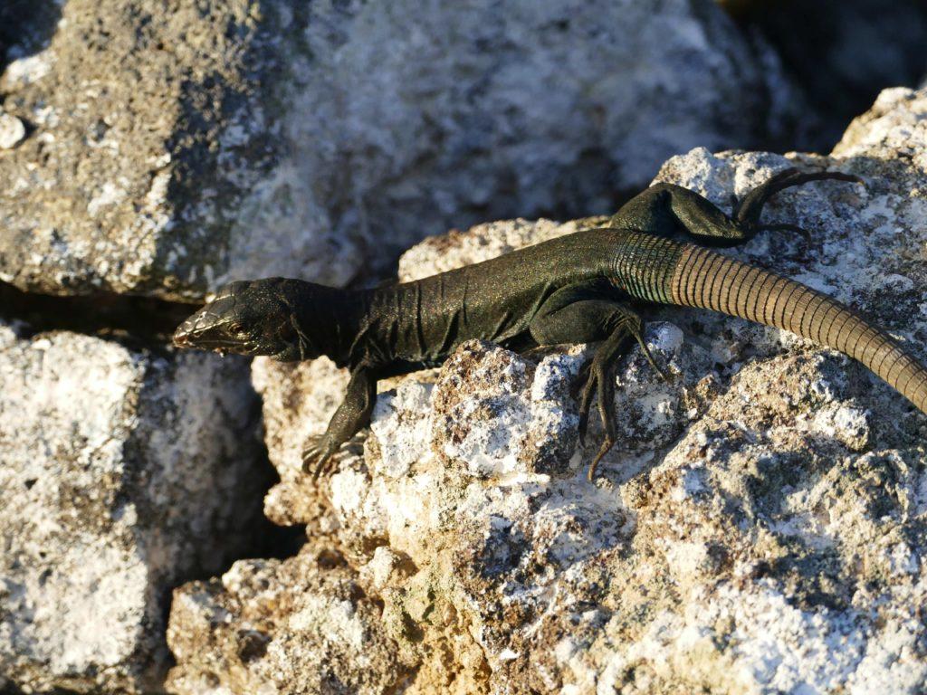 The Redonda Ground Dragon (Pholidoscelis atratus) is found nowhere else on Earth. (Photo by Mike Appleton, Global Wildlife Conservation)