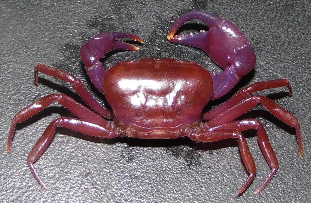 The recently rediscovered Balss's Crab (Louisea balssi) is purple. (Photo by Pierre A. Mvogo Ndongo)