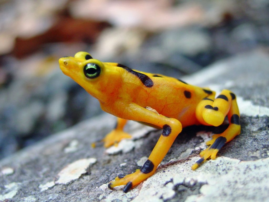 The striking Panamanian Golden Frog is the sister species to the Variable Harlequin Frog and biologists believe it is likely extinct in the wild, though Voyles and Richards-Zawacki aren't giving up hope. (Photo by Cori Richards-Zawacki)