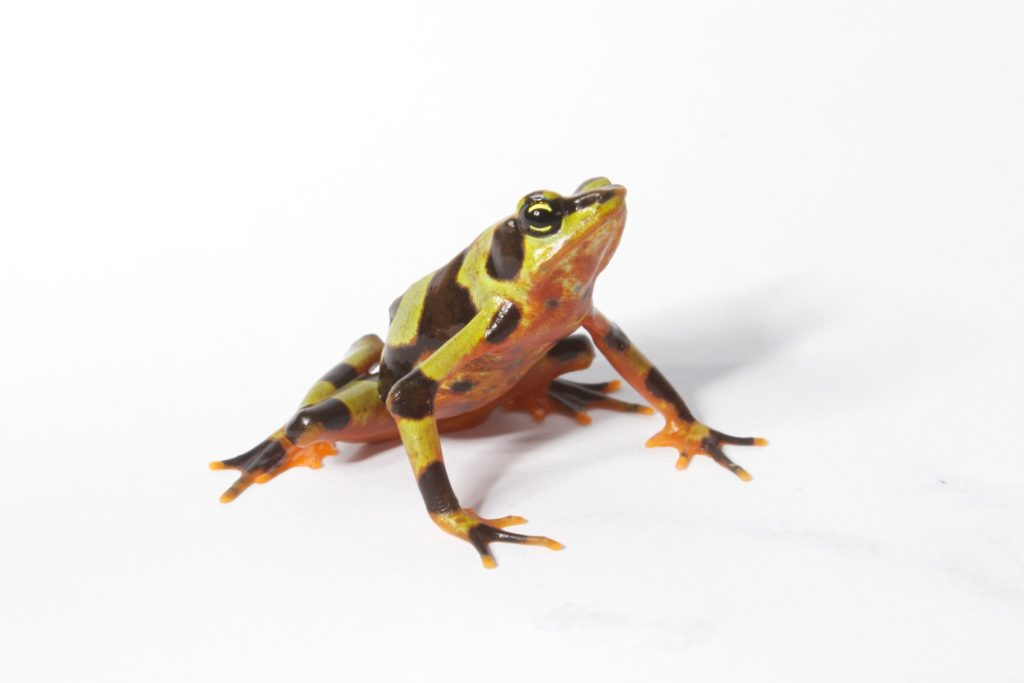 The Variable Harlequin Frog in all its golden-hued glory. (Photo by Brian Gratwicke, Smithsonian Conservation Biology Institute)