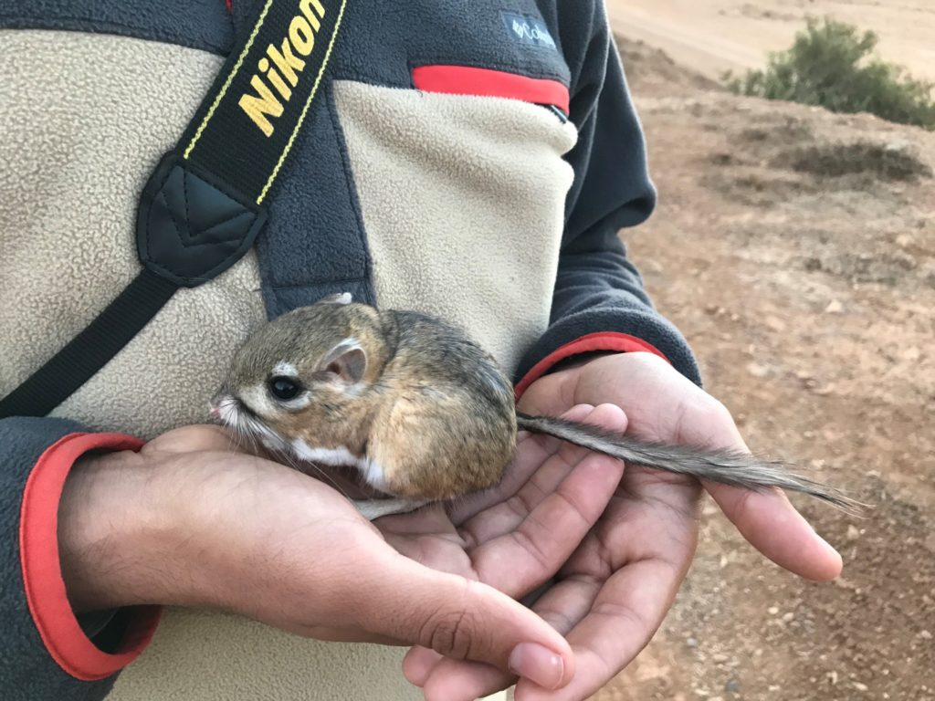 Jorge Andrade, adaptive management coordinator at Terra Peninsular, holds a San Quintin Kangaroo Rat in the field. (Photo by Sula Vanderplank, San Diego Natural History Museum)