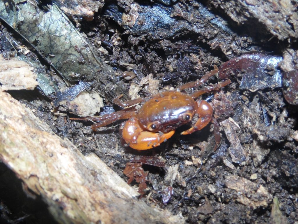An Edea Crab peeks out at the researchers. (Photo by Pierre A. Mvogo Ndongo)