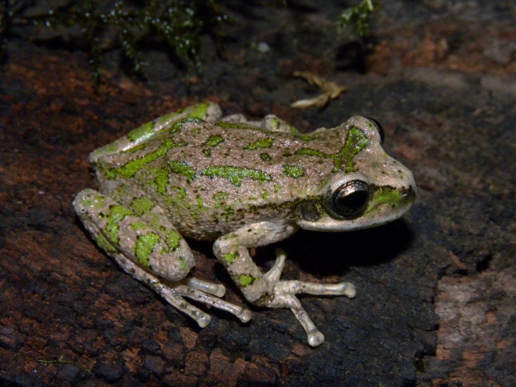 The rediscovered La Banderita Marsupial Frog. (Photo by Mauricio Akmentins)