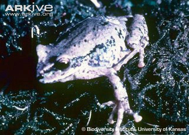 The lost Baritú's Marsupial Frog is also on the team's list of lost marsupial frogs to find.