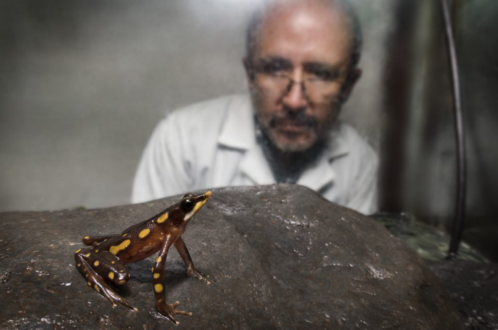 Dr. Luis Coloma looks in on a Longnose Harlequin Frog that his team brought into captivity for breeding at the Jambatu Research and Conservation Center. (Photo by Centro Jambatu/Fundación Otonga)