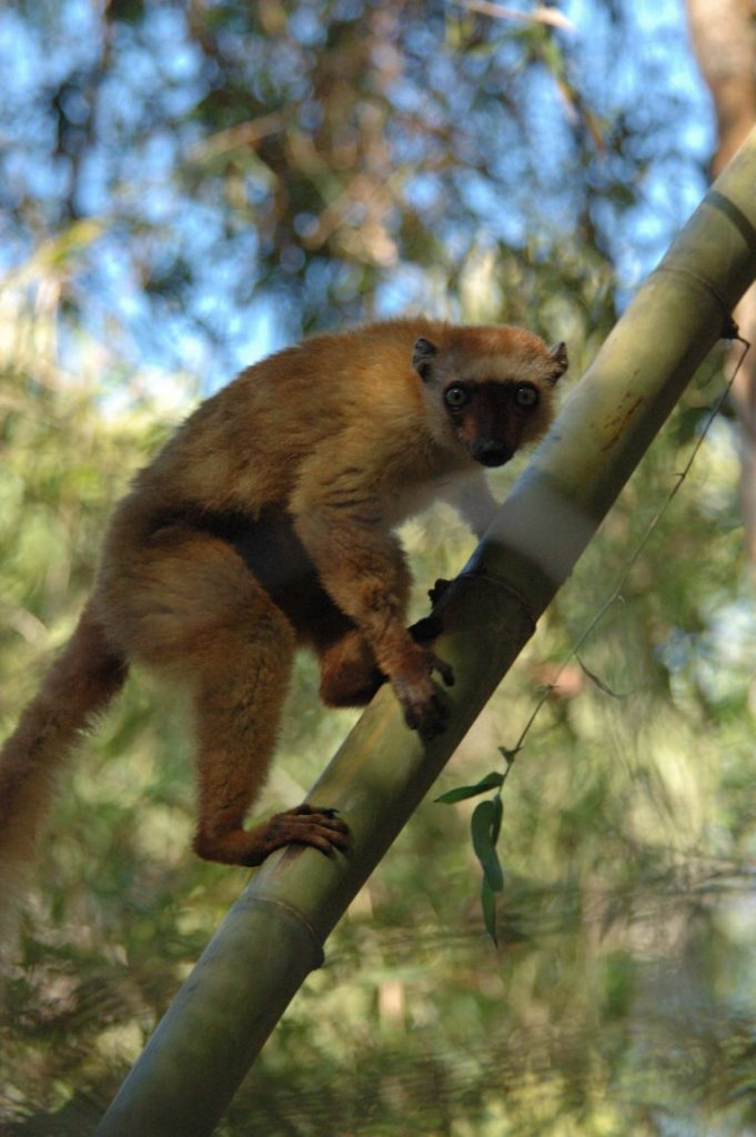 Female Blue-eyed Black Lemur. (Photo by Russ Mittermeier)
