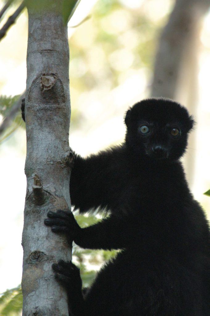 A male Blue-eyed Black Lemur from Madagascar. (Photo by Russ Mittermeier)