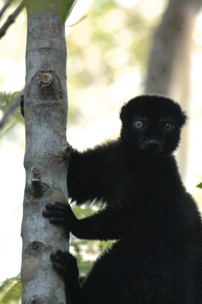 Male Blue-eyed Black Lemur. (Photo by Russ Mittermeier)