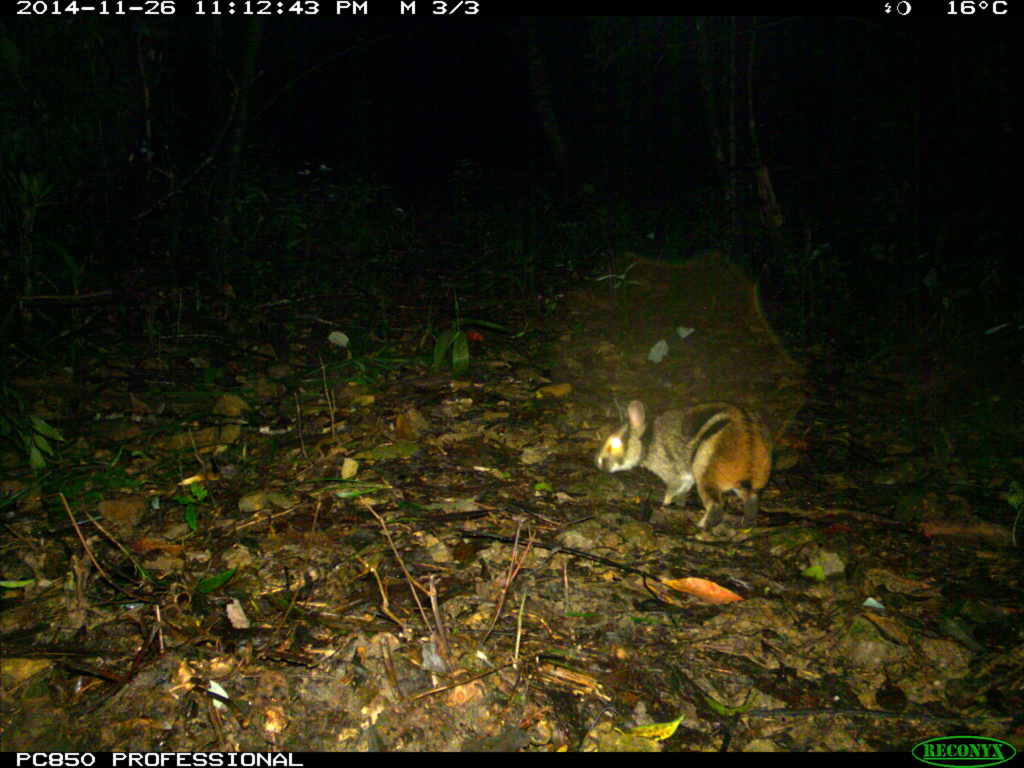 Annamite striped rabbit camera trap photo. (Leibniz Institute for Zoo and Wildlife Research / WWF-Vietnam CarBi projet / Bach Ma National Park)