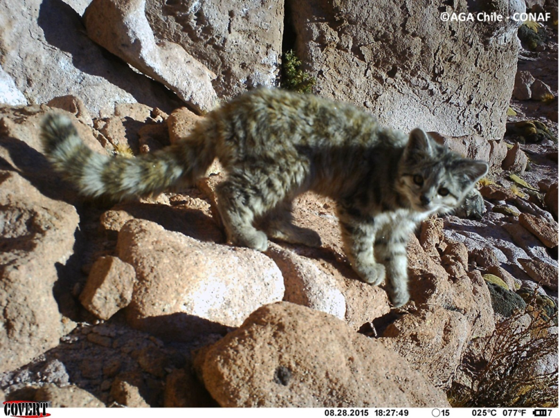 First Andean cat record in Los Flamencos Reserve. (Photo by AGA Chile-CONAF)