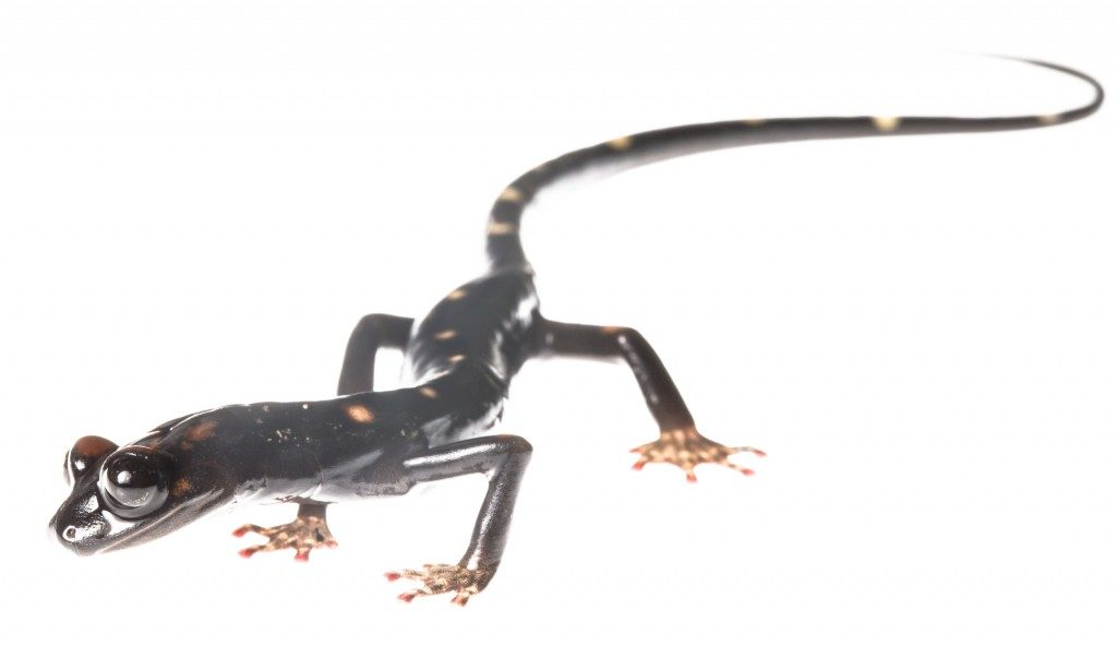 The long-limbed salamander, Nyctanolis pernix, one of two major species discoveries made by Paul Elias in his first expedition to Guatemala in 1974. (Photo by Robin Moore)