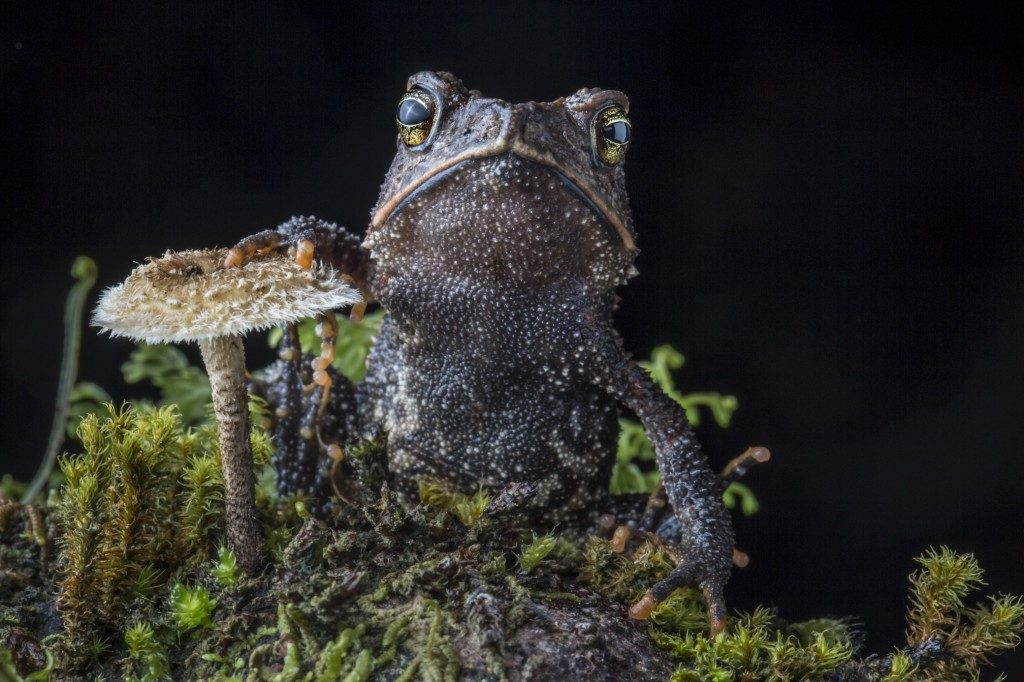 The Cuchumatan Golden Toad (Incilius aurarius), a species discovered and described as recently as 2012. (Photo by Robin Moore)