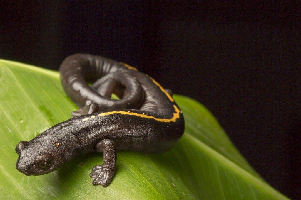 Müller's Mushroomtongue Salamander (Bolitoglossa mulleri). (Photo by Robin Moore)