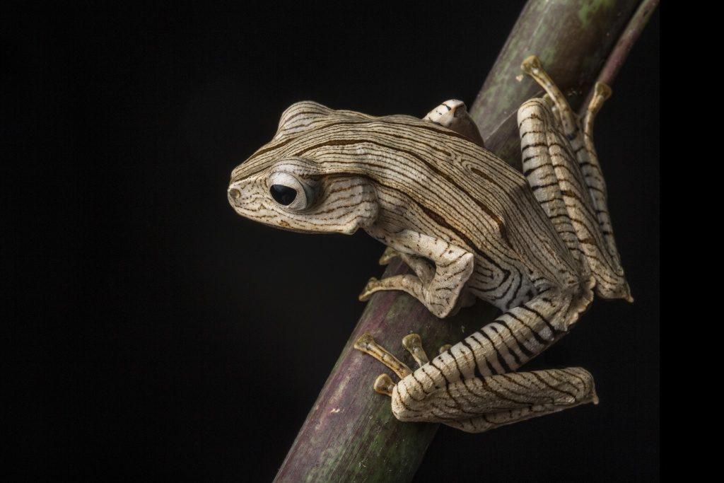 Borneo Eared Frog (Polypedates otilophus) in the Borneo Highlands of Sarawak, Malaysia. (Photo by Robin Moore)