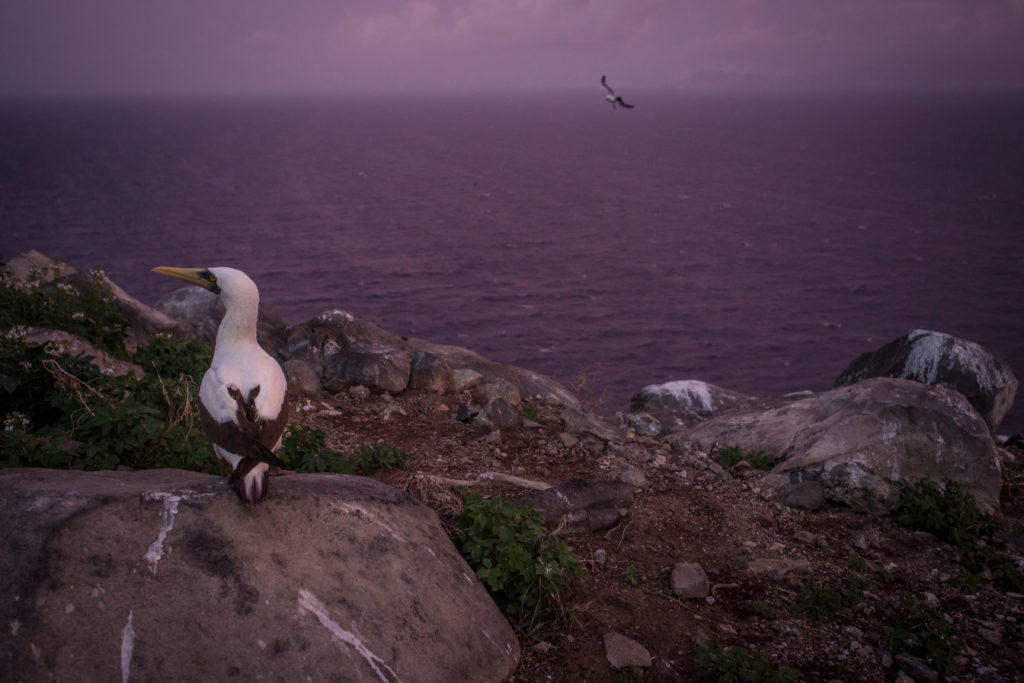 A Masked Booby sits atop a rock on Redonda. (Photo by Robin Moore, Global Wildlife Conservation)