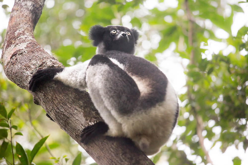 Critically Endangered Indri – one of the largest living lemurs. © Robin Moore