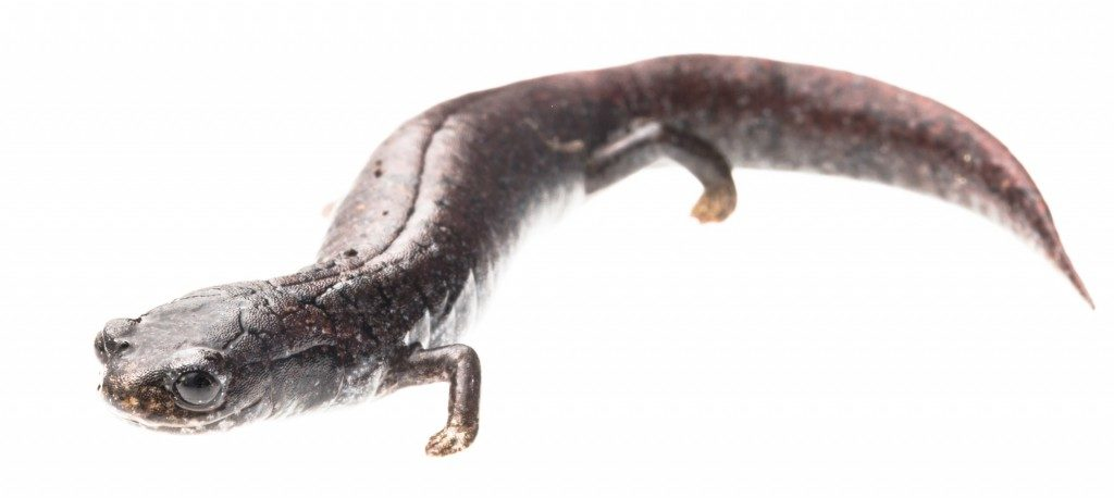 Bradytriton silus, unique in its high, vertically flattened tail, flattened nose and stumpy feet. was rediscovered after 32 years in 2009. (Photo by Robin Moore)
