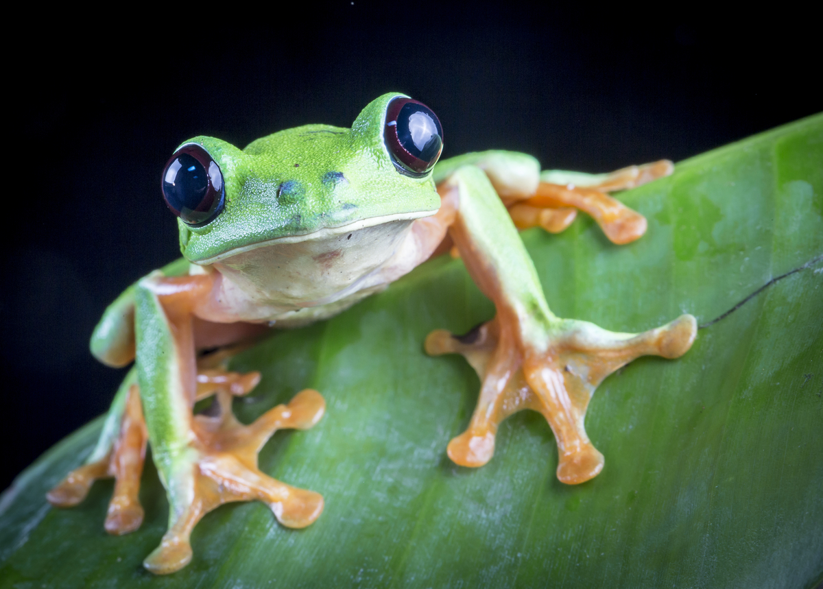 Black-eyed Leaf Frog (Agalychnis moreletii) a Critically Endangered species in the project area. (Photo by Robin Moore)