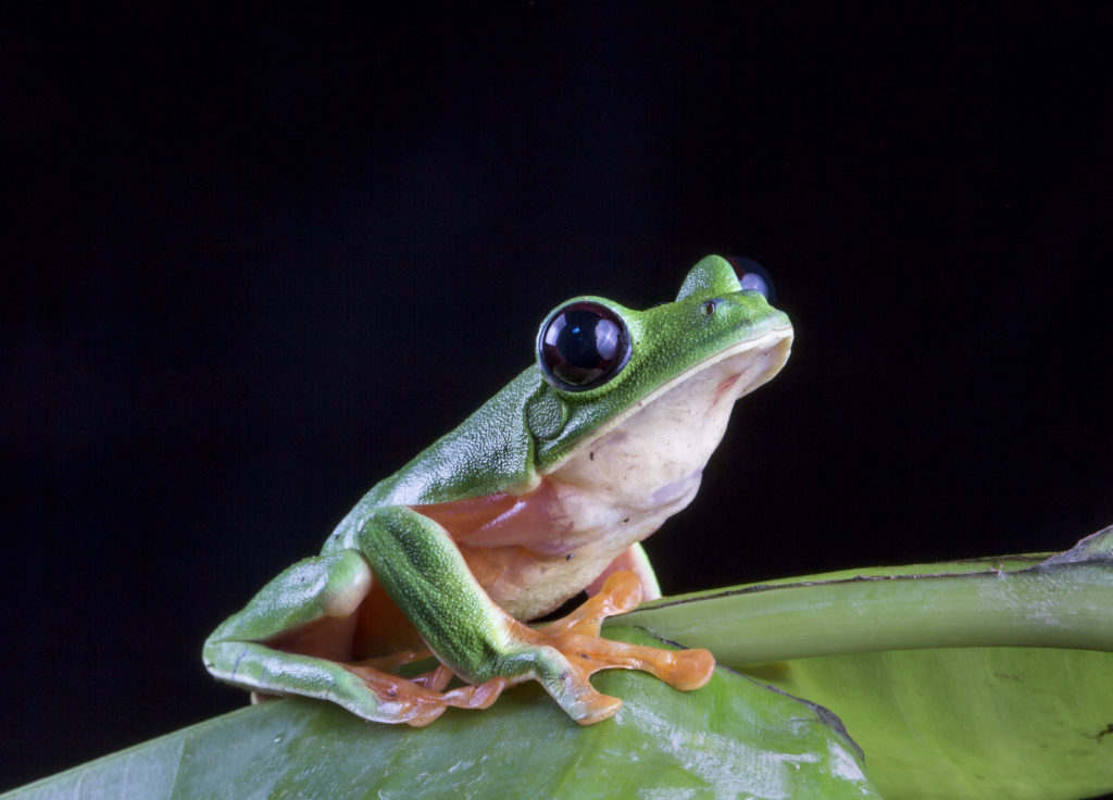 Black-eyed leaf frog, Agalychnis moreletii, in the Cuchumatanes of Guatemala