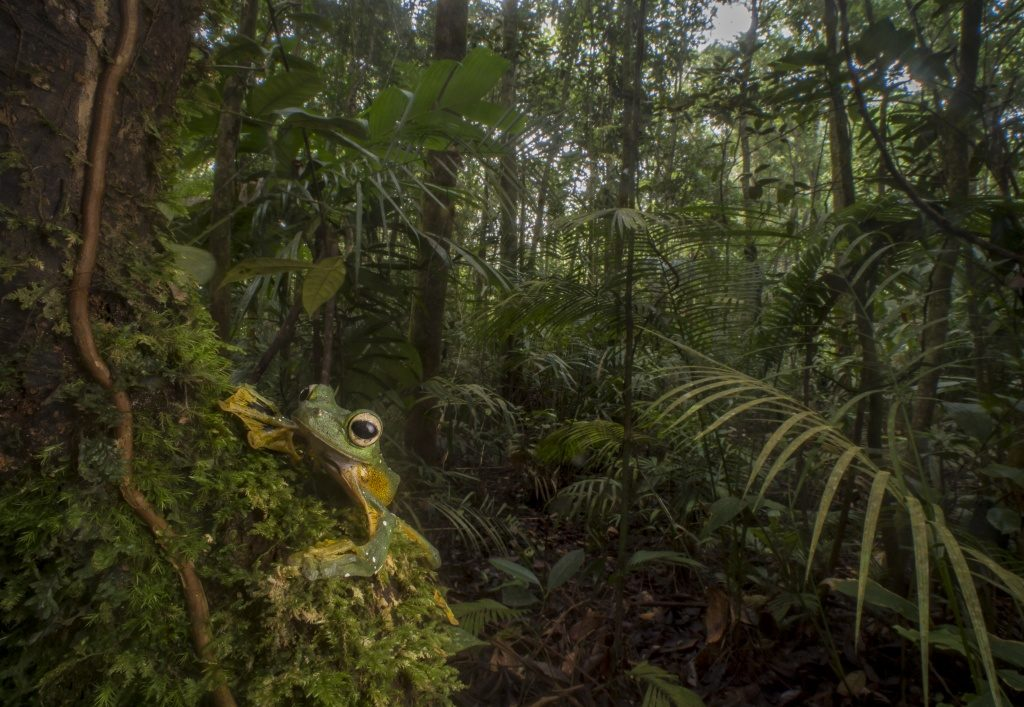 Wallace's Flying Frog (Rhacaphorus nigropalmatus) in Borneo (Photo by Robin Moore)