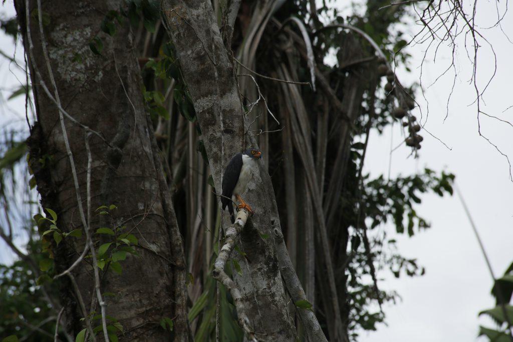 Semiplumbeous hawk (Leucopternis semiplumbeus) in Indio Maiz. (Photo by Paloma Alcazar)
