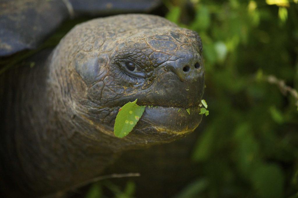Galápagos Giant Tortoise. (Photo by BRJ Inc. via Flickr Creative Commons)