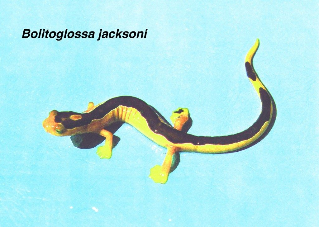 Jackson's Climbing Salamander (Bolitoglossa jacksoni), first and last seen by Jeremy Jackson almost four decades ago. (Photo by Sam Sweet)