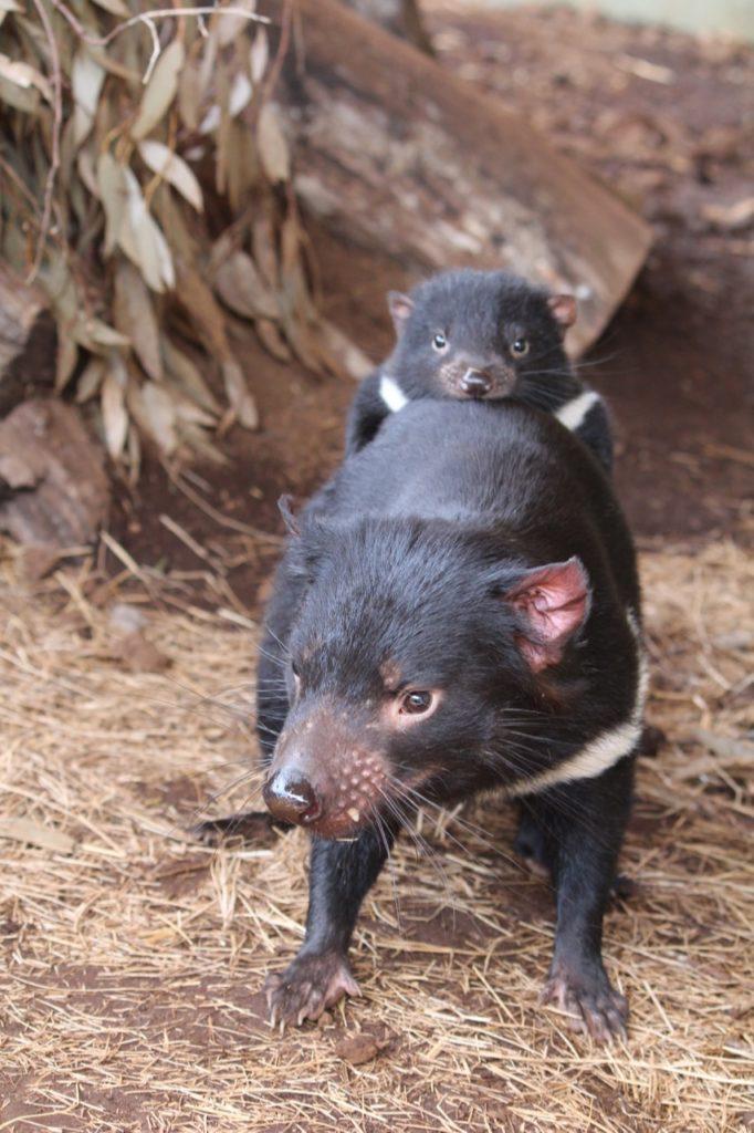 Angel with joey Bub. Angel recently gave birth to Devil Ark's 300th Tasmanian Devil joey. (Photo courtesy of Devil Ark)