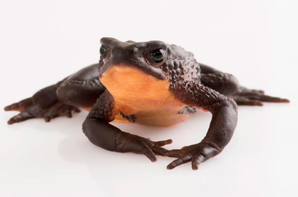 Quito-Stubfoot-Toad