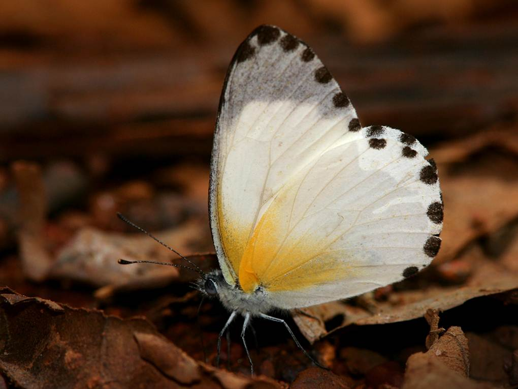 The Atewa Dotted Border is one of the rarest butterflies in Africa. (Photo by Piotr Naskrecki)
