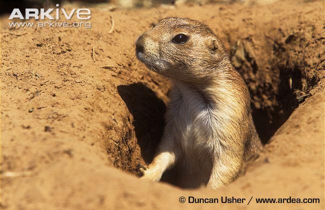 Black-tailed-prairie-dog-adult-alert-at-burrow-entrance