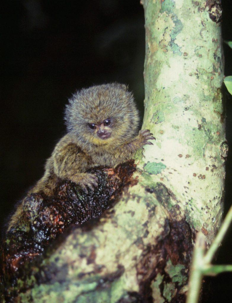 C.-pygmaea-infant.-P.-Yépez
