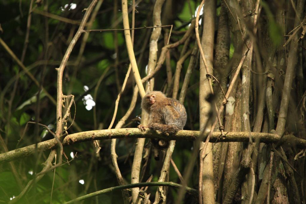 C.-pygmaea-juvenile.-P.-Yépez